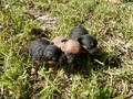 Picture(s) of Chihuahua cross mini foxie male puppies available