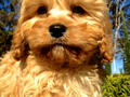 Picture(s) of Ruby Red & Rich Apricot, Caramel Cavoodle Puppies available