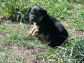 Picture(s) of kelpie X border collie pups available