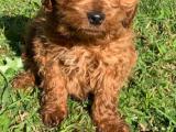 Adorable Spoodle pup