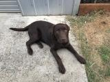 Chocolate Labrador STUD