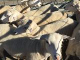 Sheep - Australian White Wethers