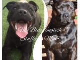 Purebred Blue English Staffy Puppies