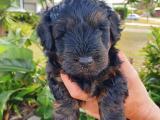 Toy Poddle x Australian Silky Terrier