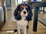 Tri-Colour Cavalier King Charles Stud (Brisbane)