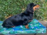 Long Haired Black and Tan Dachshund at Stud