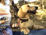 Miniature dachshund stud service