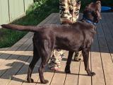 Chocolate Labrador for STUD SERVICES