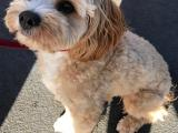 Experienced Cavoodle for STUD Brisbane DNA tested