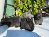 Baby Rabbits - Netherland Dwarfs - 8 week