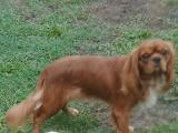 STUD CAVALIER KING CHARLES RUBY COLOUR