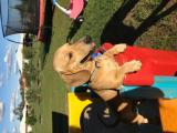 2 year old male miniature dachshund for stud