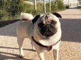 Male Pug For Stud