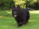 Stock Coat Black Purebred German Shepherd