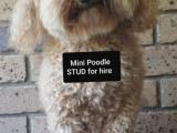 MINI POODLE -DNA tested- Caboolture/North Brisbane