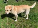 Purebred Male Labrador available for stud