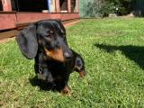 Miniature dachshund Black and Tan Stud