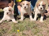 7 week old pig dog pups
