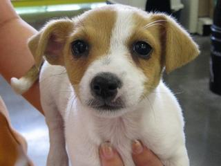For Sale Jack Russell Puppies Adorable Small And Stocky