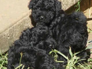For Sale Moodle Puppies