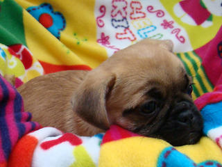 For Sale Jug Jack Russel X Pug Heidi 9 Week Adorable