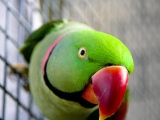 For Sale Free To Good Home Alexandriane Parrot Male