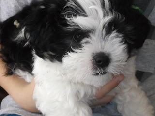 For Sale Maltese X Shih Tzu Puppy Girl 1 Left Geelong