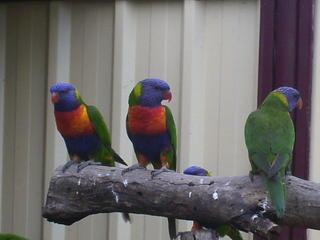 For Sale Rainbow Lorikeets
