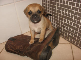 FOR SALE: Jug puppies (Jack Russell X Pug)