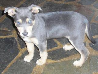 FOR SALE: Purebred rare smoke blue/tan kelpie pup