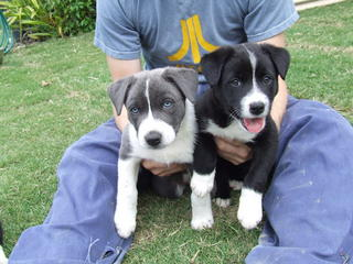 For Sale Pure Bread Short Haired Border Collies