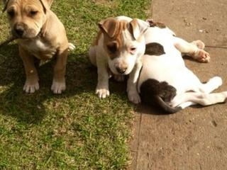 Dogs For Sale In Liverpool Nsw