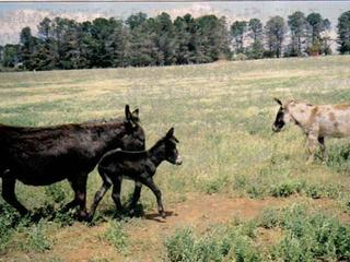 For Sale Irish Donkeys