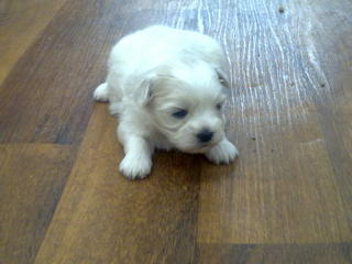 Shih Tzu Dogs For Sale In Townsville