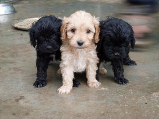 Toy Tractors For Sale >> FOR SALE: Pugoodle (pugapoo) puppies