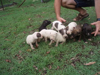 Pig Dogs For Sale Cairns