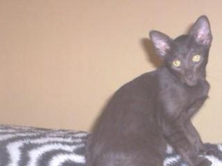 FOR SALE: Oriental kittens. registered breeder.
