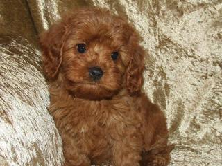 For Sale X O Toy Cavoodle Puppies O X