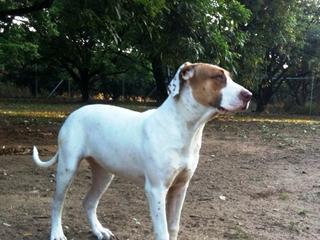 Bull Arab X Dogs For Sale Sunshine Coast