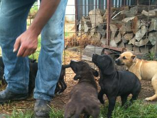 Pig Dogs For Sale Darwin