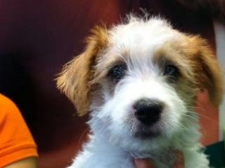 For Sale Long Hair Jack Russell Puppies