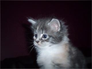 For Sale Maine Coon Kittens Registered Breeder