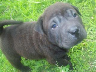 For Sale Staffy X Sharpei Puppies