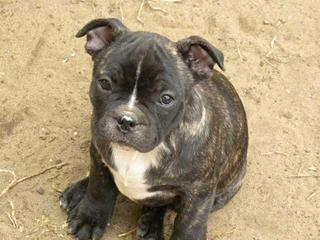 For Sale English Staffordshire X French Bulldog Puppies