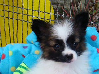 For Sale Papillon Purebred Tiny Male And Female Pups
