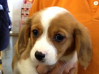 For Sale Beaglier Beagle X Cavalier Puppy