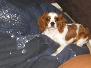 For Sale Cavalier King Charles Spaniel Male