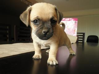 For Sale Pug Cross Jack Russell Puppies 4 Sale Jugs