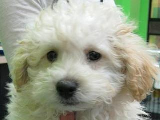 For Sale Moodle Maltese X Toy Poodle Puppies