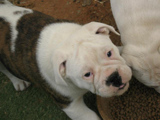 For Sale Aussie Bulldog Pup